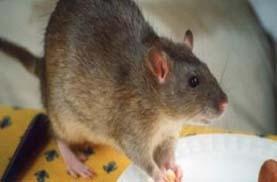 حماية منزلك من الفئران