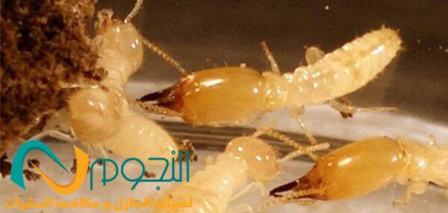 صورة شركة مكافحة النمل الابيض بمكة